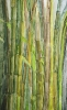 Bambous de GENEVIEVE GOSSOT_13